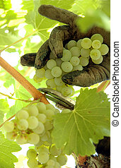 Harvesting Chardonnay - Close up of a workers gloved hand...