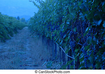 Evening in the Vineyard - Evening in the vineyard-bluish...