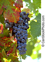 Turning Leaf - Cluster of ready to pick Petite Noir grapes...
