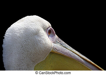 Great pelican Pelecanus onocrotalus close up, beautiful...