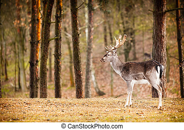 Red deer stag in autumn fall forest - Young male red deer...