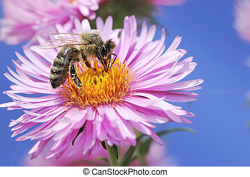 Aster flower with bee - Honeybee on a pink aster flower...