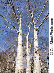 Birch trees stem bare of leaves in vertical composition