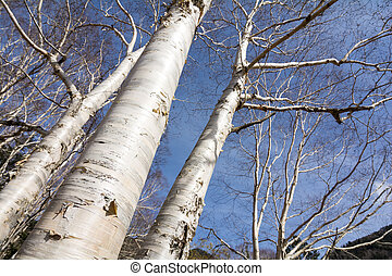 Birch trees stem - Close up birch trees stem bare of leaves...
