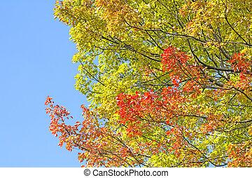 Outono, tridente, Maple, ramos,