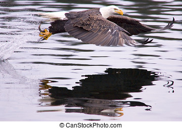 Eagle catches a fish. - After the swoop, an eagle catches a...