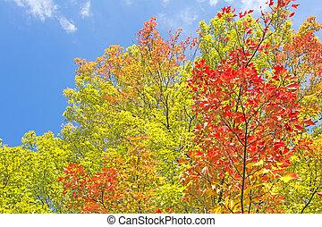 otoño, tridente, arce, árbol,