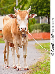 Brown cow on the road