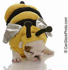 english bulldog puppy dressed up as a bee