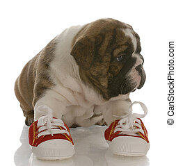 english bulldog puppy wearing running shoes with reflection...