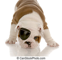 english bulldog puppy wearing an eye patch