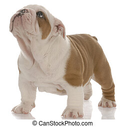 red and white english bulldog puppy standing looking up -...