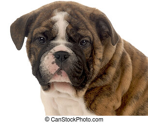 seven week old red brindle and white english bulldog puppy