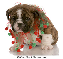 red brindle puppy wearing christmas scarf with reflection on white background