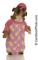 english bulldog standing up wearing pink shirt and matching hat