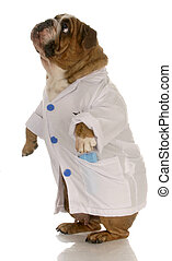 english bulldog standing wearing white doctor or veterinarian coat