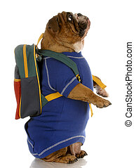 english bulldog standing up wearing blue sweater and backpack