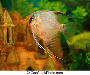 aquarium fish scalar - scalar is aquarium fish without...