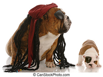 english bulldog adult and puppy dressed up as pirates