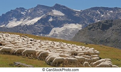 alpine landscape with sheep - beautiful alpine panorama with...