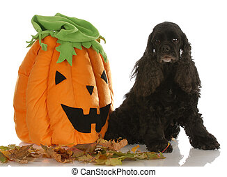 american cocker spaniel sitting beside pumpkin with reflection on white background