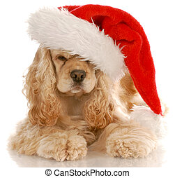 american cocker spaniel laying down wearing santa hat with...