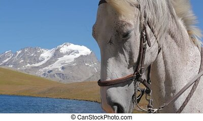 white horse face close up - white horse close up in alpine...