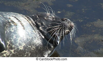 Wild Seal Wiskers Close Up