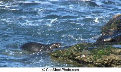Wild Seal Climbing Onto Rock - Wild Seal climbing onto rock