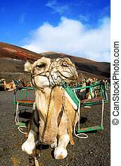 camel sitting in the Timanfaya National Park