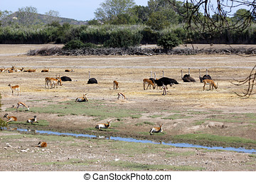 Animal Trafic On Muddy Waterhole With gazelles and ostriches
