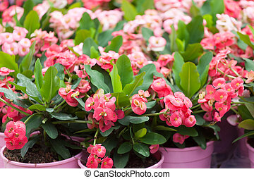 blossoming euphorbia in flowerpots on a show-window of...