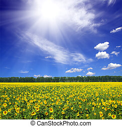 sunflowers field under sun