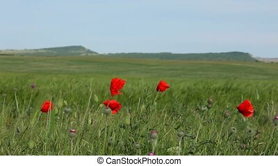 On A Green Field Few Red Poppies