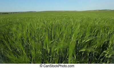 Young Wheat Bends In The Wind - Young wheat field on a...