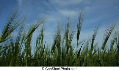 Swaying Ears Of Wheat Against The Blue Sky