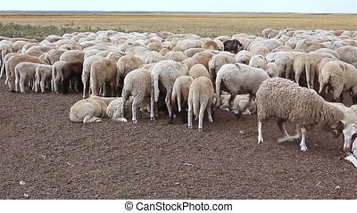 Flock sheep are resting on meadow - Large number sheep are...