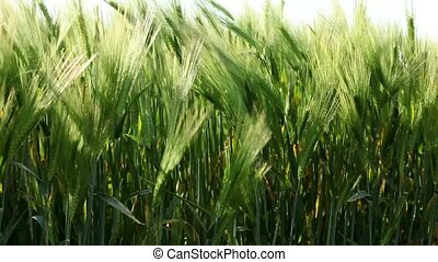 Green wheat stems. - Green stems of wheat moving in the...