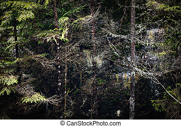 Spruce thicket in the coniferous forest