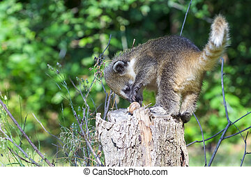 South American coati Nasua nasua baby - South American coati...