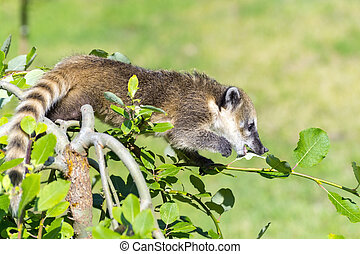 South American coati (Nasua nasua) baby - South American...