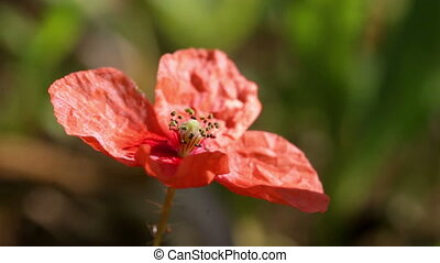 Poppy flower close up