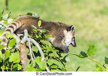 South American coati Nasua nasua baby - South American coati...