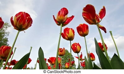Tulips in a Garden Blowing in the Wind