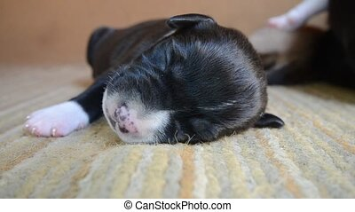 American Staffordshire Terrier Puppy sleeping , one weeks...