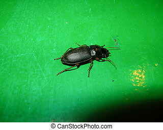 ground beetle - Ground beetle A predatory insect from group...