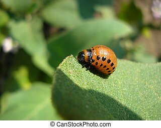 Potato bug - The Colorado beetle sits on a potato leaf and...