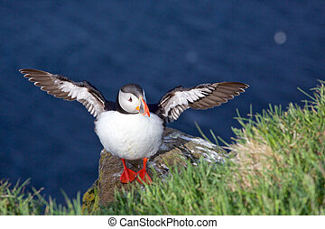 Puffin with wings spread out - A puffin with its wings...