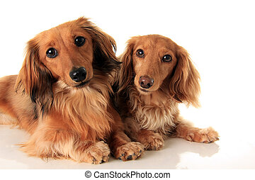 two longhair dachshunds - Two longhair dachshund, studio...