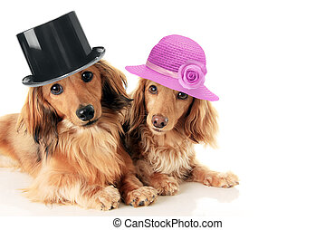 Dachshunds couple wearing hat. - Two dachshunds, a male and...